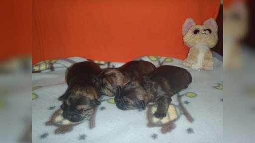 border terrier po INTERCHAMPIONACH - Border Terrier (010)