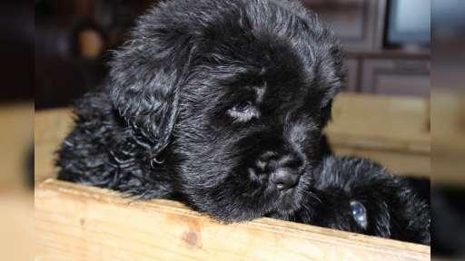 Novofundlandská štěňata - Novofundlandský pes (050)