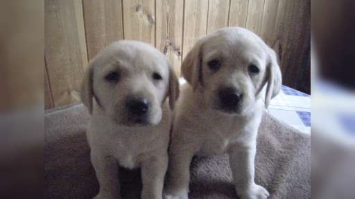 Prodam krasna štěnata Labradorskeho retrivra. - Zlatý retrívr (111)