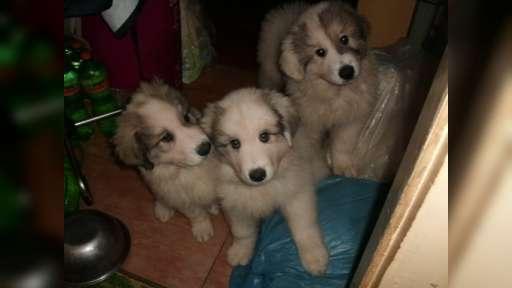 Pyrenejský horský pes  - štěňata - Pyrenejský horský pes (137)