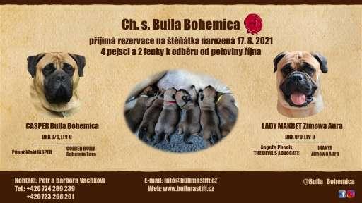 Štěňata bullmastif - Bullmastif (157)