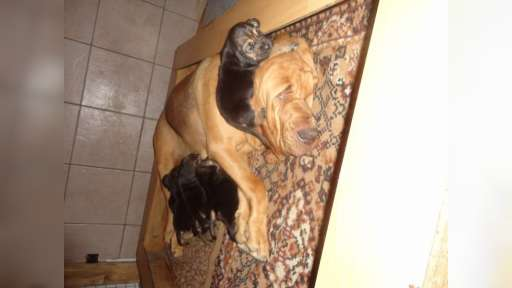 bloodhound puppies - Bloodhound (084)