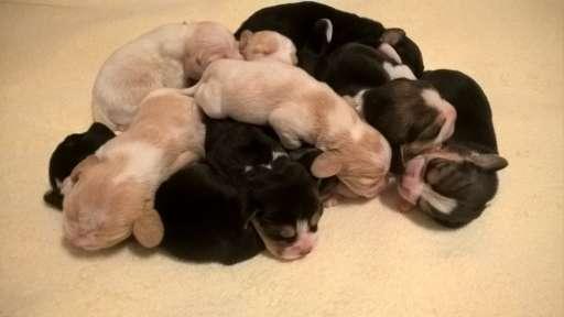 Bígl beagle štěňátka - Bígl (161)