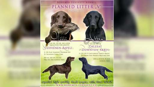 Flat coated retriever - Flat coated retrívr (121)