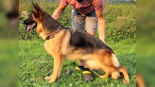 Německý ovčák štěňata - Německý ovčák (166)