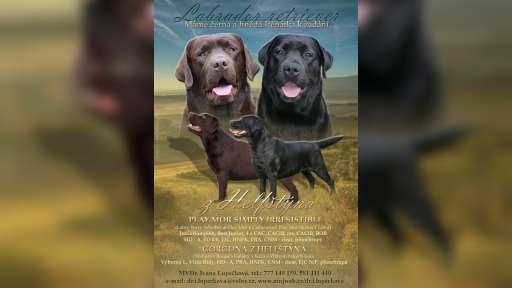 Labrador retriever - nadějná krásná černá fenečka s PP na prodej - Labradorský retrívr (122)