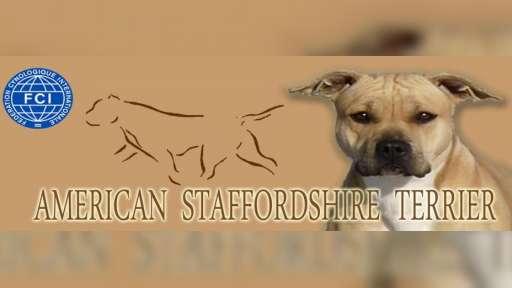 Americký stafordšírský terier - vera