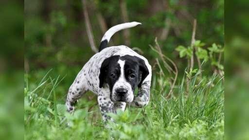 Auvergneský ohař  - auvergnedog