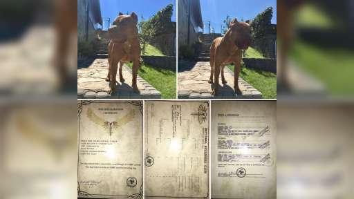 Pit bull terriér - red nose - Americký pitbull teriér